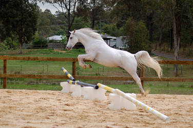 Arab Jumping no tack form side by Chunga-Stock