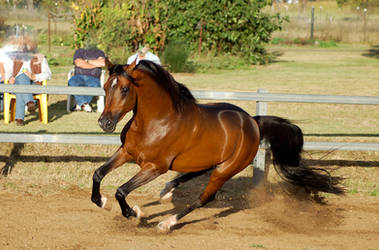 JA Arab Bay Gallop - Lurrrrve this one by Chunga-Stock