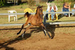 JA Arab Yearling bay leaping left