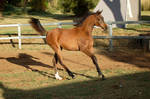 JA Arab yearling bay cantering side view