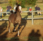 JA Arab Rose Grey Trot front on pretty face