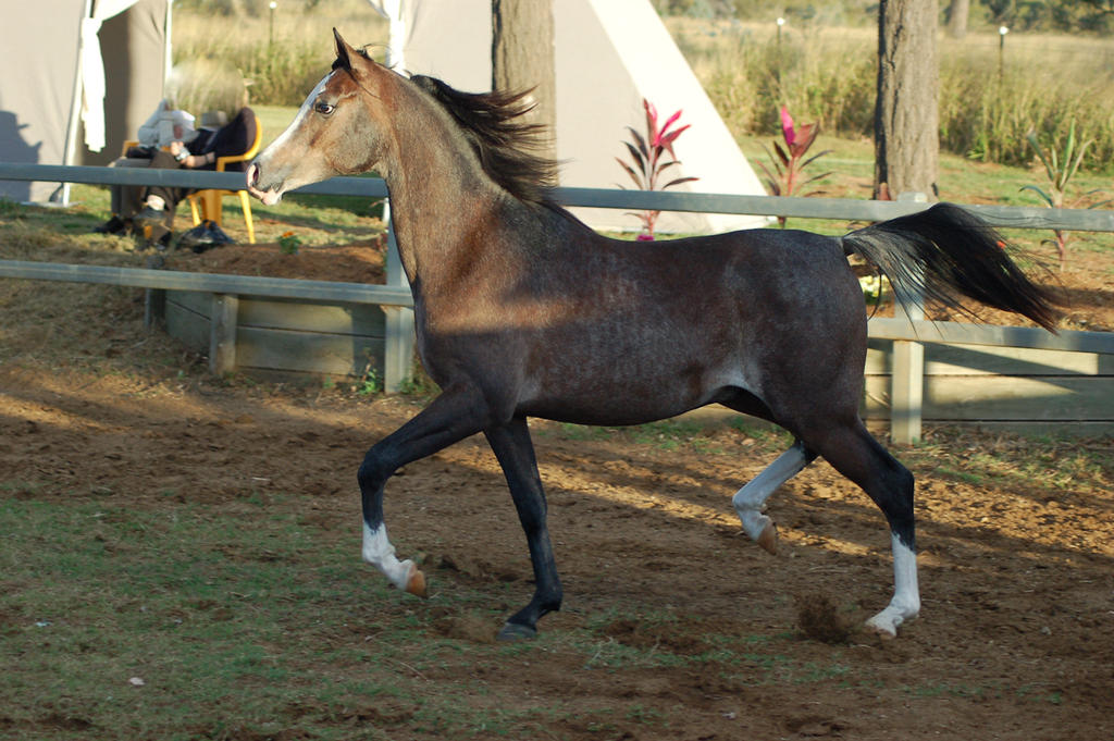 JA Arab Rose Grey Trot on side by Chunga-Stock