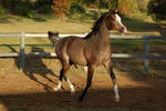 JA Arab Rose Grey Trot elevated