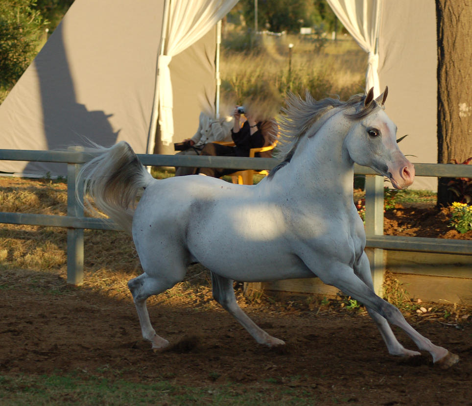 JA Arab Leaning back in canter by Chunga-Stock