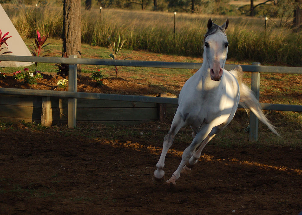 JA Arab Grey trotting toward by Chunga-Stock