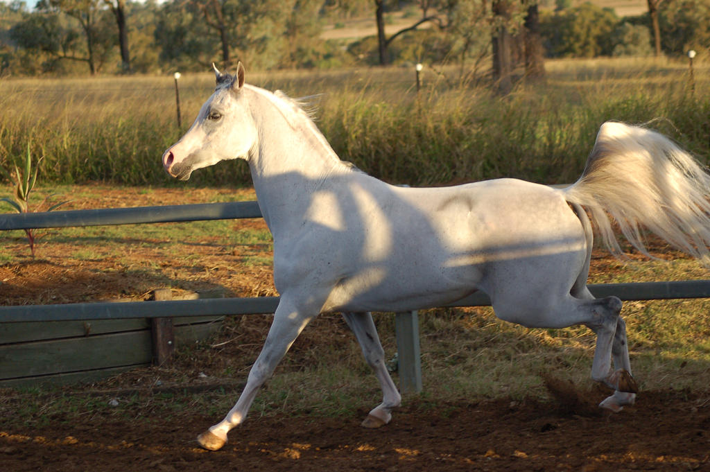 JA Arab Grey side canter trot Shadowed by Chunga-Stock