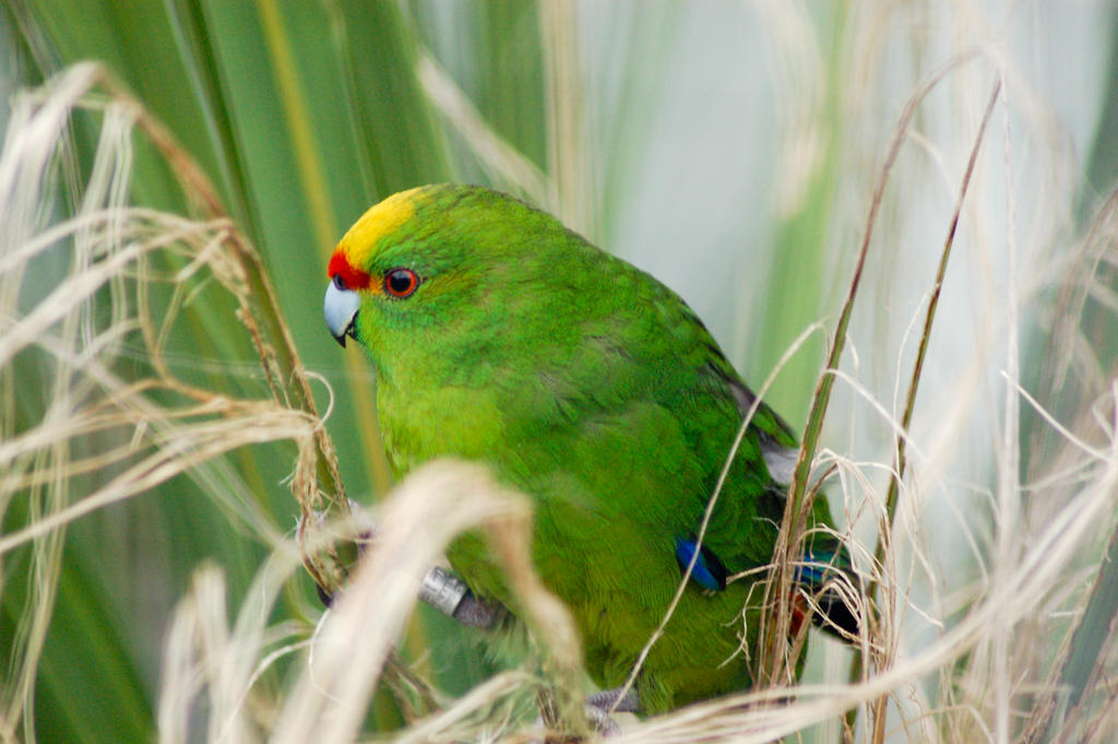 NZ Grass parrot by Chunga-Stock