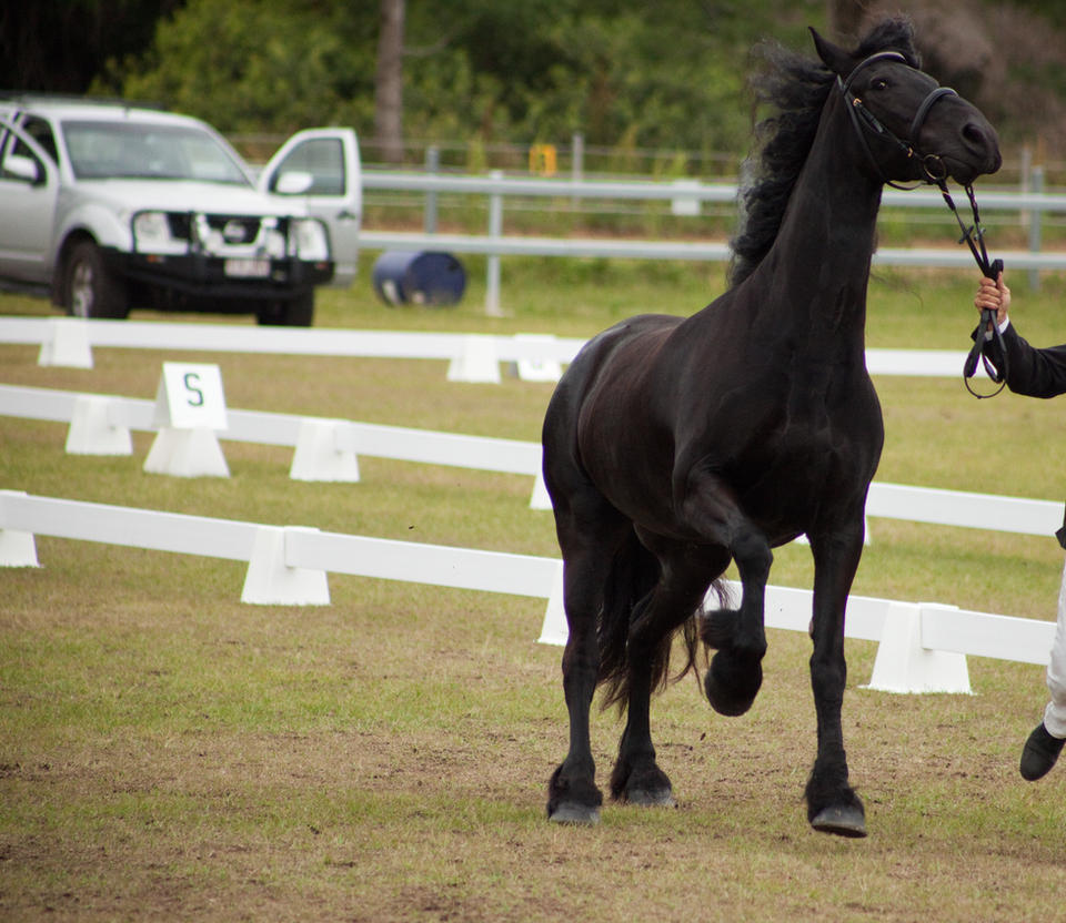 FR Friesian front canter head up eyes back by Chunga-Stock