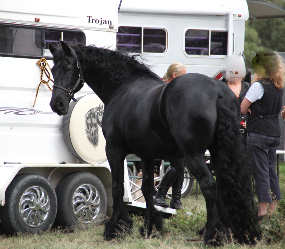 FR Friesian Standing looking back at cam ears up by Chunga-Stock