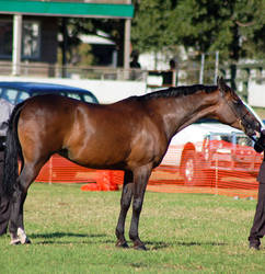 TW Arab Bay side view stand tongue out by Chunga-Stock