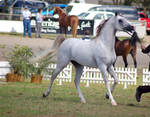 TW Arab white/grey trotting side front 3/4