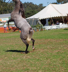TW Arab grey massive huge rear. head cropped by Chunga-Stock