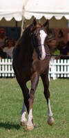 TW arab liverchest trot front on
