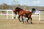 GE arab pinto moving into canter side neck arc