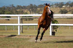 GE arab pinto cantergallop directly front on