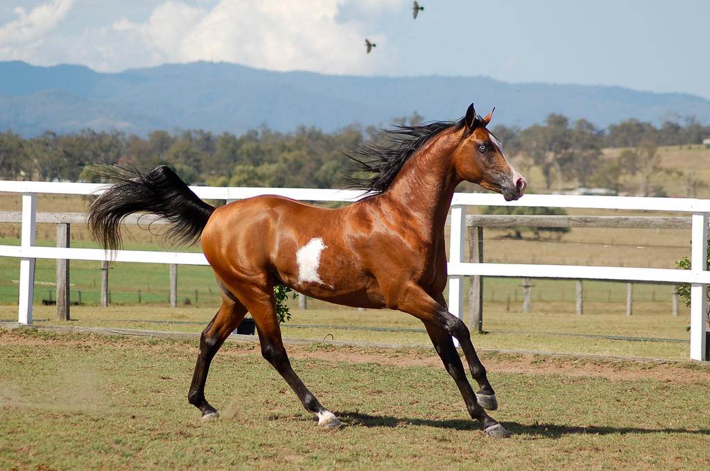 GE Arabian Pinto Stallion by Chunga-Stock