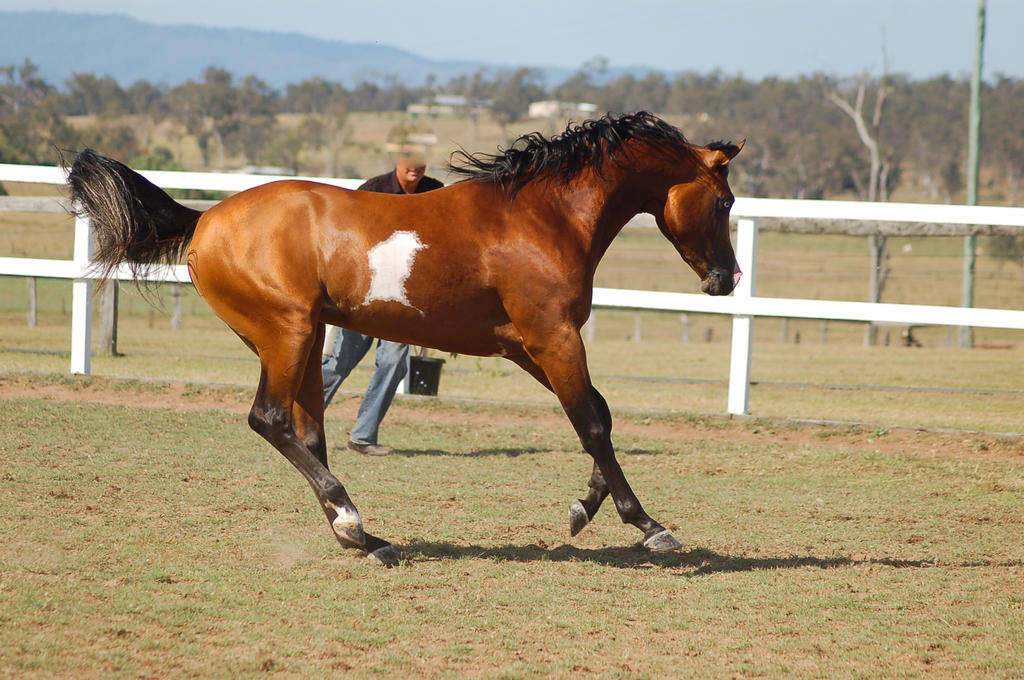 GE arab pinto canter side view by Chunga-Stock