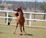 GE Arab filly chestnut turning twisted front view