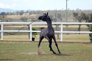 GE Arab filly grey head toss action by Chunga-Stock