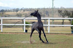 GE Arab filly grey head toss action