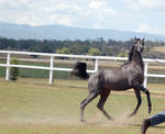 GE Arab filly grey canterleap right side head came