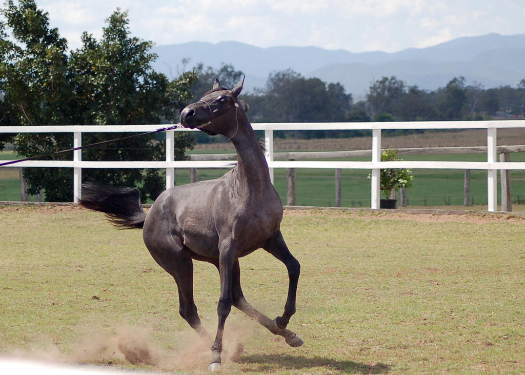 GE Arab filly grey gallop pulling away front view