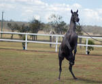 GE Arab filly grey rearing front view