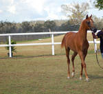 GE Arab chestnut young trot