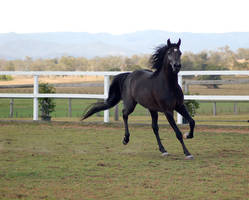 GE Arab black trot front 3/4 by Chunga-Stock