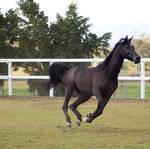 GE Arab black canter gallop side front
