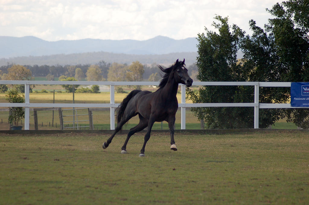 GE Arab black canter front side by Chunga-Stock