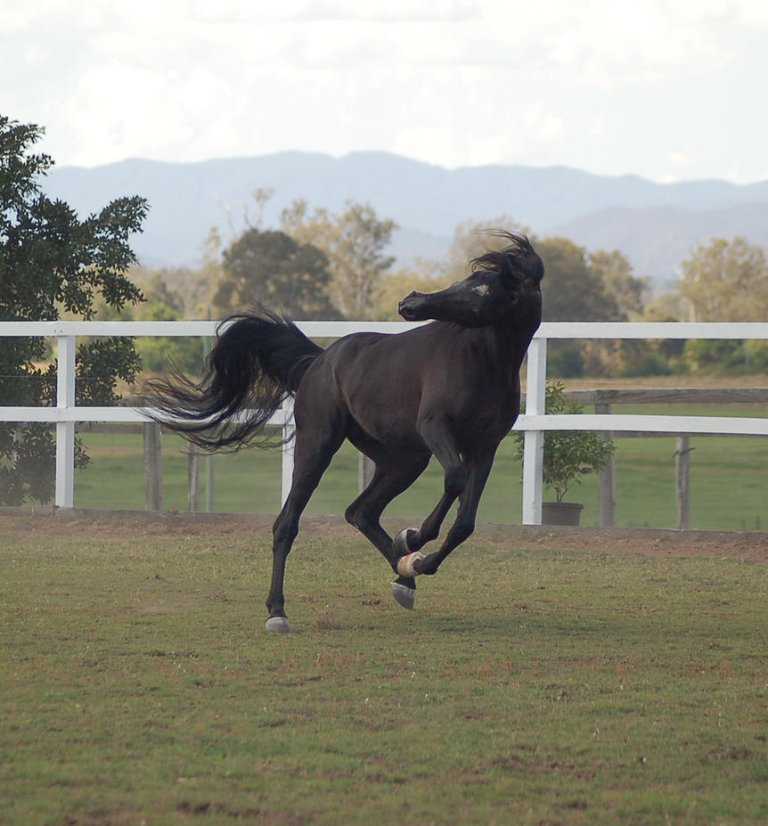 GE Arab black canter head toss by Chunga-Stock