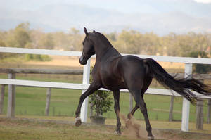 GE Arab black trot away sidebehindview by Chunga-Stock