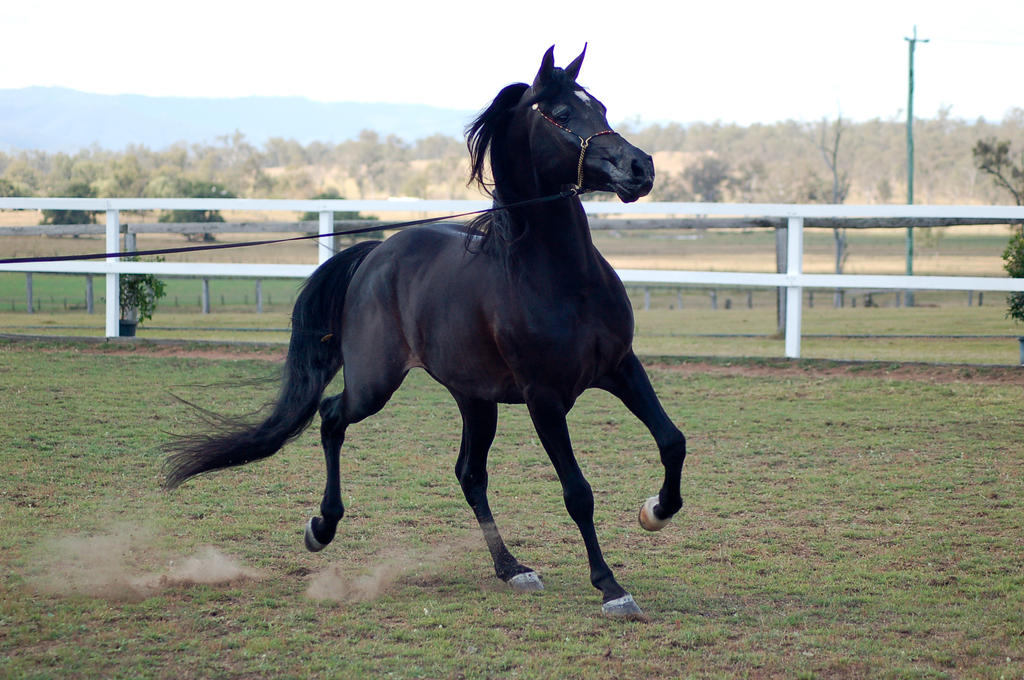 GE Arab black trot frontside view looking away by Chunga-Stock