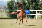 GE Arab chestnut canter sideways headnose right up