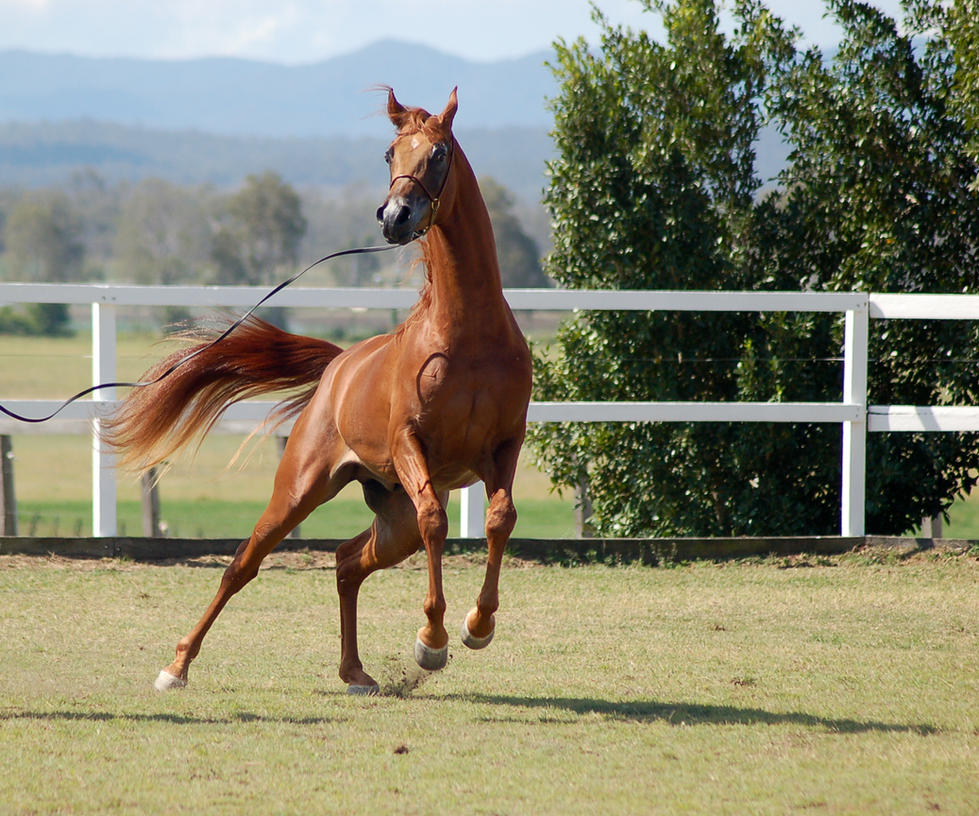 GE Arab chestnut leaping to side front view by Chunga-Stock