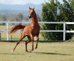 GE Arab chestnut leaping to side front view