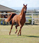 GE Arab chestnut trot front view