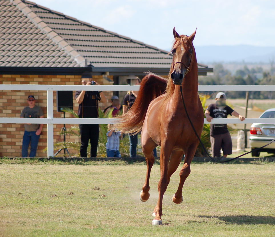 GE arab chestnut trot front view by Chunga-Stock