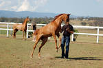 GE Arab chestnut young rear/leap