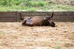 KM Old TB laying rolling legs up