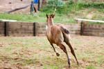 Km Foal buckskin canter view behind
