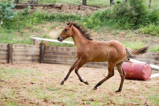 KM Foal Buckskin canter side view