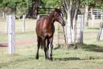 Dn black pony walk front view