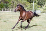 Dn black pony front view canter
