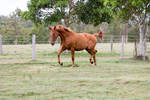 Dn wb trot side view chestnut