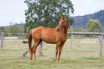 Dn Warmblood Chestnut standing side view
