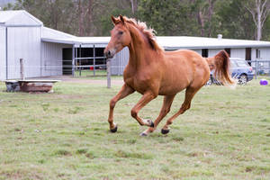 DN wb chestnut canter ears pricked by Chunga-Stock