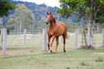 Dn WB chestnut trot front 3/4 view