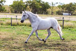 HH Grey Andalusian Stallion trot side view